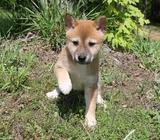 Lovely Shiba Inu Puppies