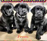Imported Labrador Retrievers (Australia)