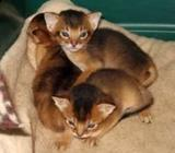 Abyssinian kittens 1 male and 1 female stunning ready