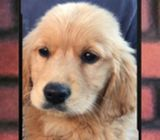 WhatsApp88776368 Golden Retriever Puppies Sale.Tian Chai Petshop TOP Fb reviews 719
