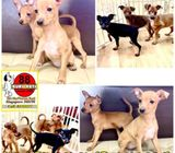 Mini Pinscher (Purebreed) Puppies for Sale Call 81352277 now
