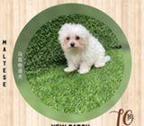WhatsApp88776368 many Maltese Puppies Sale.Tian Chai Petshop TOP Fb reviews719