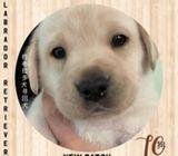WhatsApp88776368 Labrador Puppies Sale.Tian Chai Petshop TOP Fb reviews719