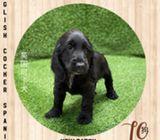 WhatsApp88776368 Cocker Spaniel Puppies Sale.Tian Chai Petshop TOP Fb reviews572