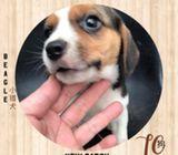 WhatsApp88776368 Beagle Puppies Sale.Tian Chai Petshop TOP Fb reviews572