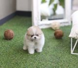 Supper cute Pomeranian puppies ready to go