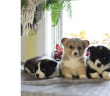 Pembroke welsh corgi looking for good and caring home
