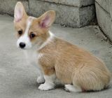 Healthy Home raised Pembroke Welsh Corgi puppies available