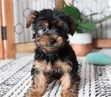 male and female Yorkshire terrier puppies to offer