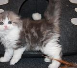 Gorgeous male and female scottish fold kittens