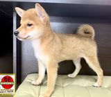 Mini Shiba Inu Puppies for Sale