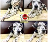 Great Dane X (Big Bone) Puppies for Sale