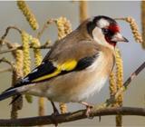 Canary female