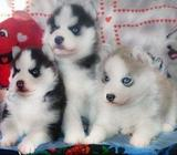 Outstanding Siberian Husky Puppies Available For Rehoming