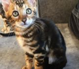 Stunning Tica Registered Bengal male and female