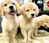 Golden Retriever Puppies for Sale Singapore