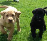 Sweet & Playful Labrador Puppies