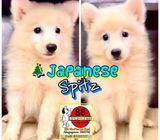 Japanese Spitz Puppies for Sale Singapore