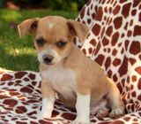 Two Top Class Chihuahua Puppies Available