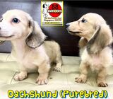 Dachshund (Purebred) Puppies for Sale Singapore