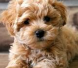 ADORABLE MALTIPOO AVAILABE FOR SALE