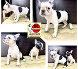 French Bulldog (Purebred) Puppies for Sale