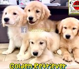 Golden Retriever Puppies (Big Bone Parentage)