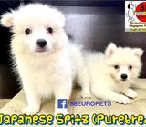 Japanese Spitz Puppies for Sale (Purebred)