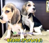Beagle Puppies (Purebred) for Sale