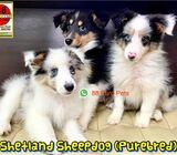 Shetland Sheepdog for Sale
