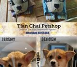 WhatsApp88776368 Male Corgis Puppies Sale.Tian Chai Petshop TOP Fb reviews750