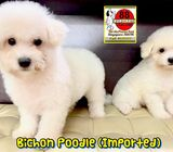Bichon Poodle (Imported) Puppies for Sale