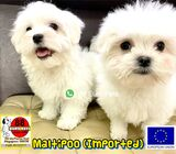 Maltipoo Puppies for Sale (Imported)