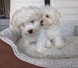 Pure Breed maltese 3 months old