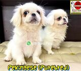 Pekingese Puppies for Sale (Purebred) Call 81352277