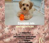 WhatsApp 88776368 Cavapoo Puppies Sale.Tian Chai Petshop TOP FB reviews 752