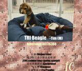 WhatsApp88776368 Beagle Puppies Sale.Tian Chai Petshop TOP FB reviews 752