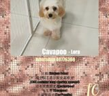 WhatsApp88776368 Cavapoo Puppies Sale.Tian Chai Petshop TOP FB reviews752
