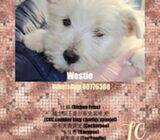 WhatsApp88776368 Westie Puppies Sale.Tian Chai Petshop TOP FBreviews 752