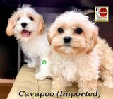 Cavapoo Puppies (Europe Imports) 88 Euro Pets