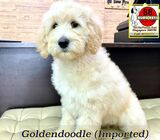 Goldendoodle Puppies for Sale 88 Euro Pets