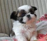 Affectionate Shih Tzu Puppies