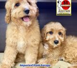 Cavapoo Puppies for Sale 88 Euro Pets Call 81352277