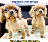 King Charles Cavalier Puppies for Sale 88 Euro Pets Call 81352277