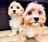 Cavachon Puppies for Sale 88 Euro Pets