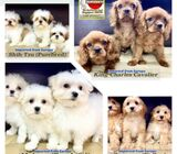 Puppies for Sale 88 Euro Pets Call 81352277