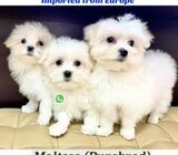 Maltese for Sale (Imported) 88 Euro Pets Call 81352277