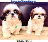 Shih Tzu Puppies for Sale (Imported) 88 Euro Pets Call 81352277