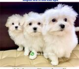 Maltese Puppies for Sale 88 Euro Pets (Purebred Imported from Europe) Call 81352277
