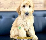 Goldendoodle for Sale (Imported from Europe) 88 Euro Pets Call 81352277